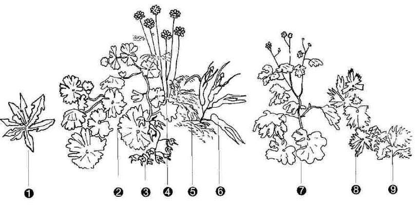 Die Blumen aus der Bamberger Himmelfahrt (Legende s.Text)