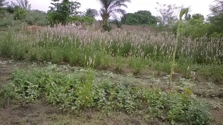 Le jardin avec épinards servant de semences