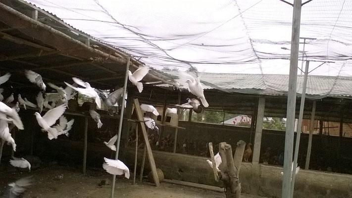 Les pigeons du Casa se divertissent