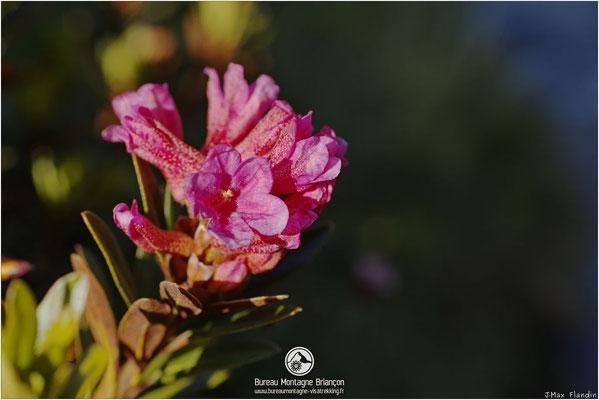 Fleurs de rhododendron