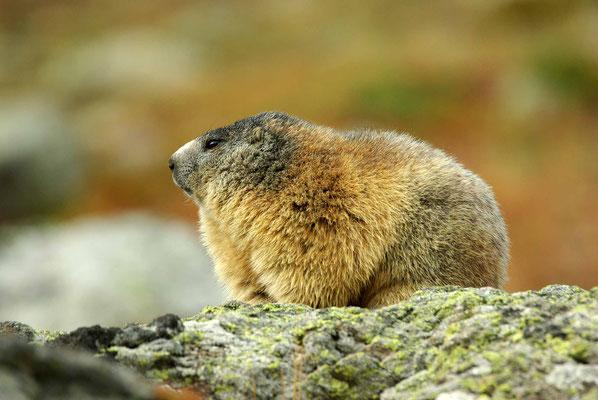 randonnée marmotte briançon serre chevalier