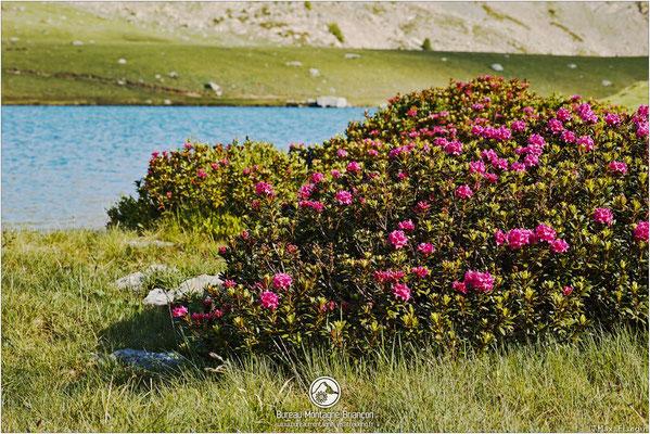 Rhododendrons au lac de l'Oule