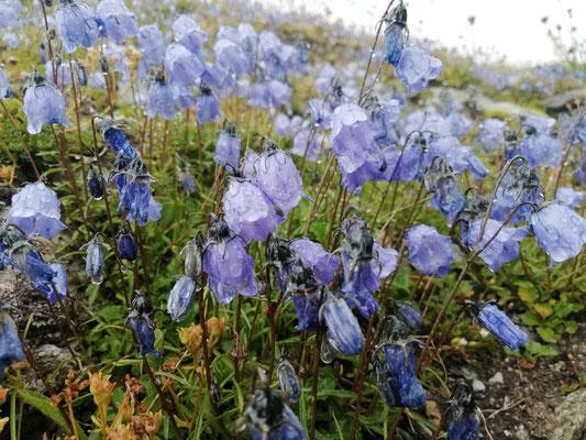 Furkapass - Blumen und Regen - 2429m