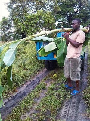 Erste Bananen werden angepflanzt.