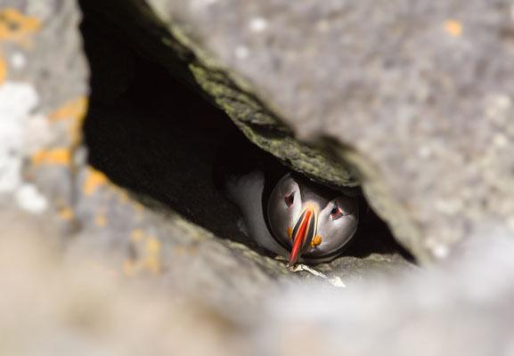 Hidden puffin