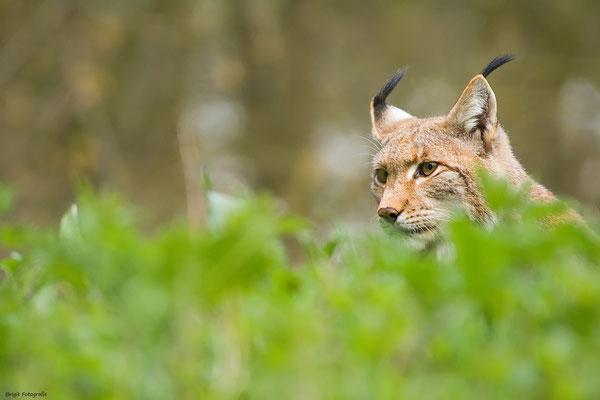 Hidden Lynx