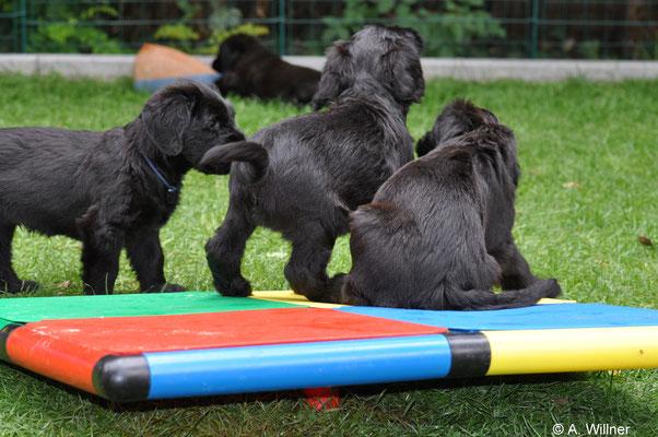 Schnauzbären beim spielen