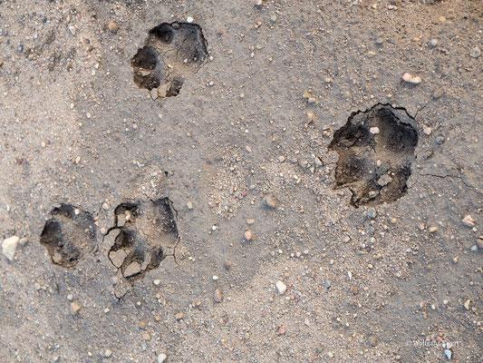 Spur eines Jungwolfes  -- Foto: W. Ewert