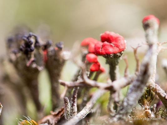 Rotfrüchtige Becherflechte-  Foto: Wolfgang Ewert