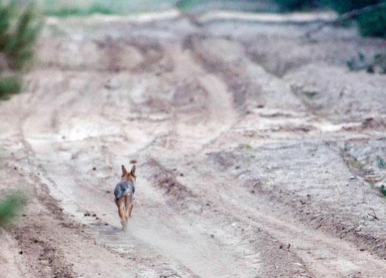 Wolfswelpe, beobachtet vom abendlichen Ansitz  -- Foto: W. Ewert