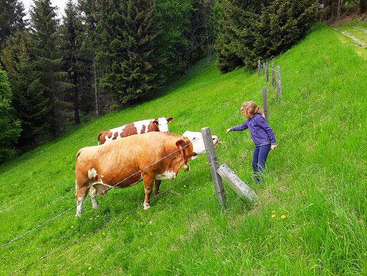 Graier Huabn - Kühe auf der Weide