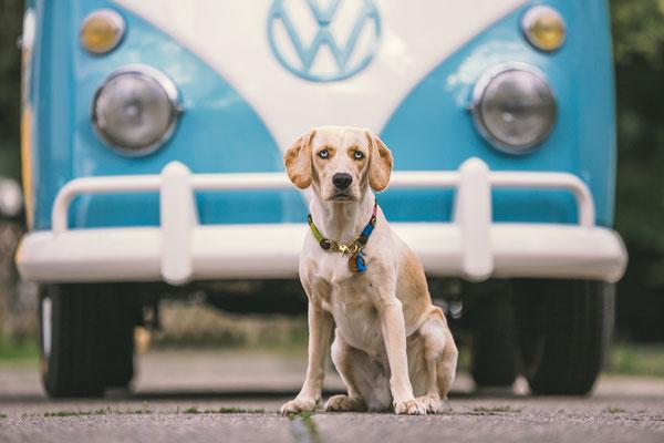 Tierfotografie - Labrador - Husky - Mix - Amara