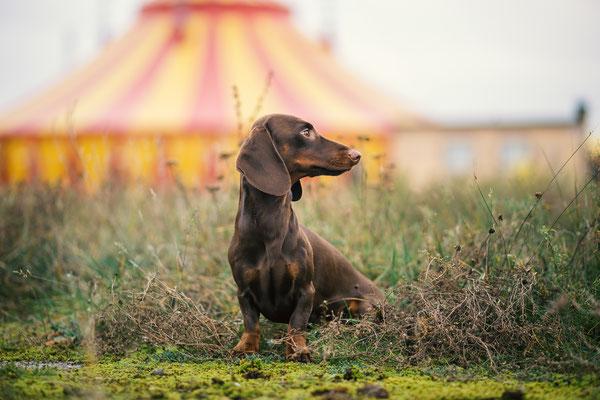 Tierfotografie - Alfie vom Nikolassee - Dackel