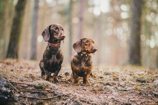 Alfie vom Nikolassee und Roter Rudi vom Rehsprung Standard Kurzhaarteckel - Dachshund