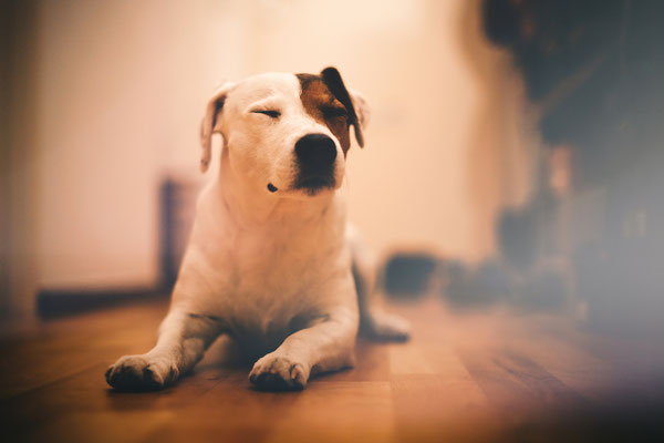 Tierfotografie - Jack Russel Terrier - Diego