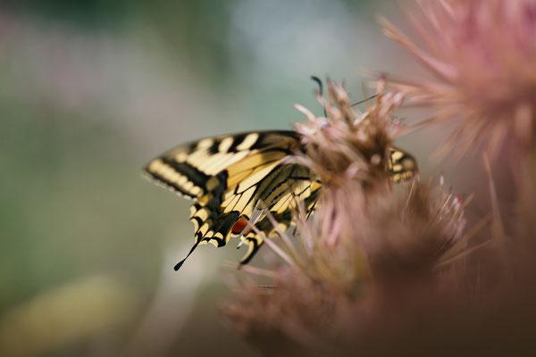 Makrofotografie Schmetterling Schwalbenschwanz