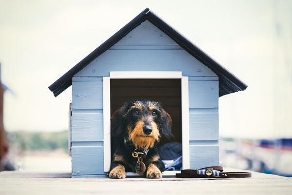 Tierfotografie - Zwergrauhaardackel - Olga