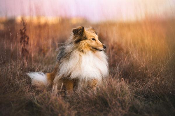 Tierfotografie - Shetland Sheepdog - Lilly