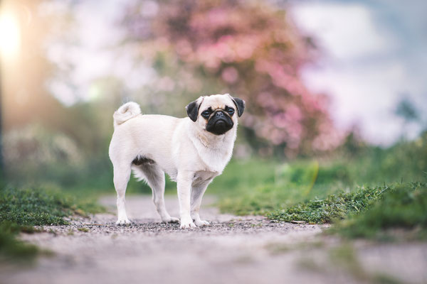 Tierfotografie - Mops - Molly