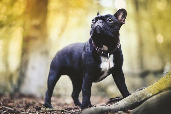 Tierfotografie - Französische Bulldogge