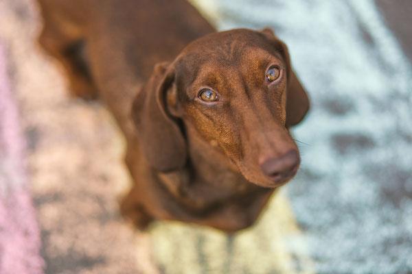 Tierfotografie - Standard Kurzhaarteeckel - Roter Rudi vom Rehsprung