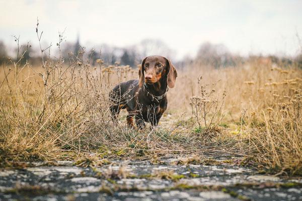 Tierfotografie - Dachshund - Alfie vom Nikolassee