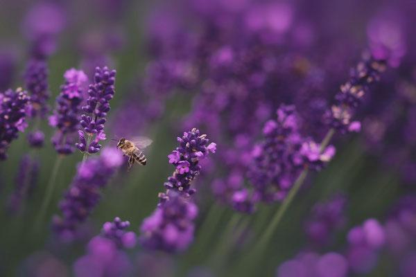 Makrofotografie Lavendel