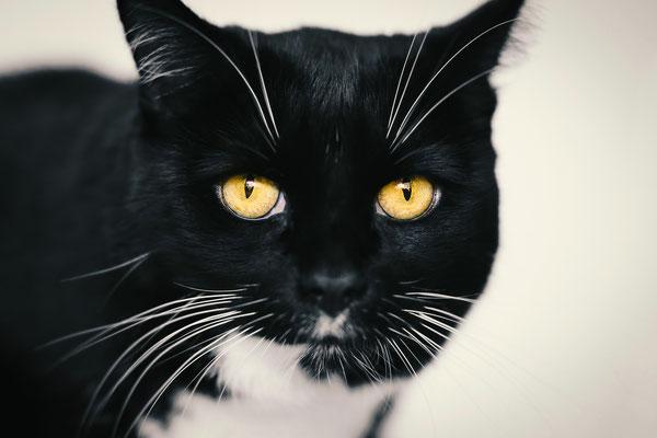 Tierfotografie - Hauskatze - Socke