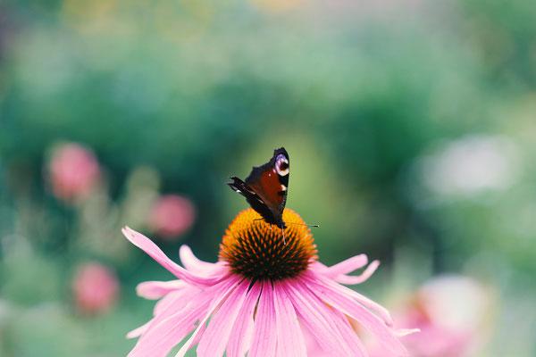 Makrofotografie Schmetterling auf Sonnenhut
