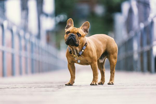 Französische Bulldogge - Zeus