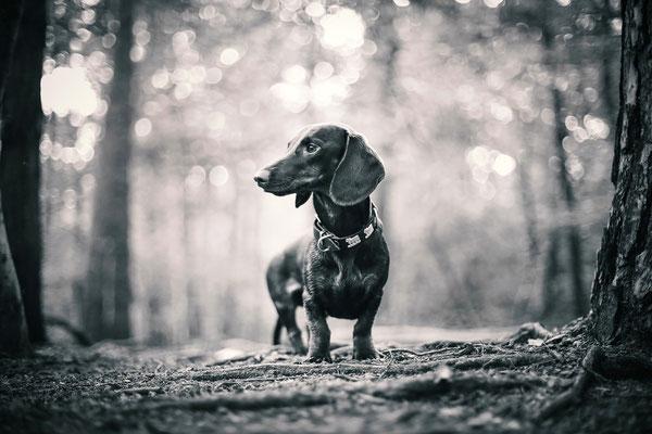 Tierfotografie - Dackel - Alfie vom Nikolassee