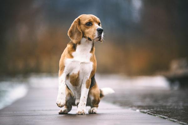 Beagle - Paul vom Glasbachtal