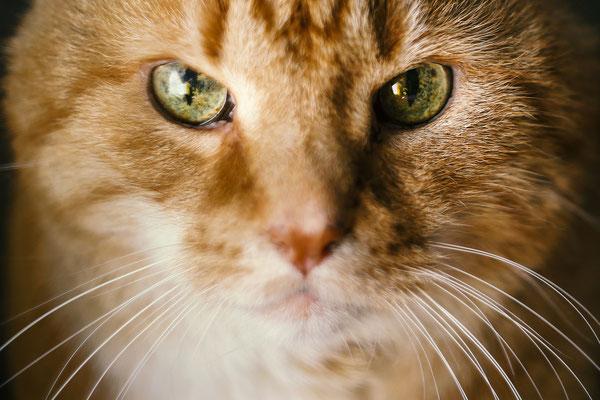 Tierfotografie - Hauskater - Felix