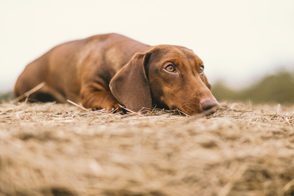 Tierfotografie - Standard Kurzhaardackel - Roter Rudi vom Rehsprung
