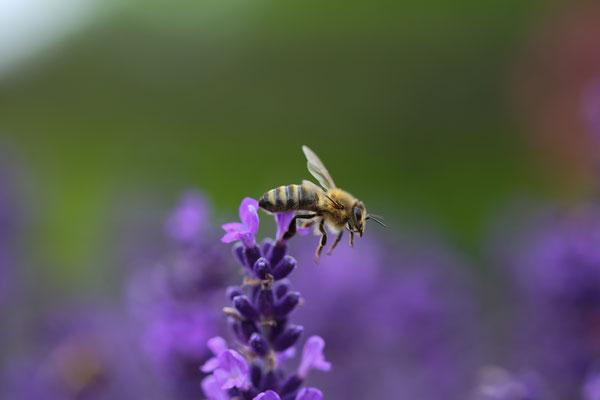 Makrofotografie Biene auf Lavendel