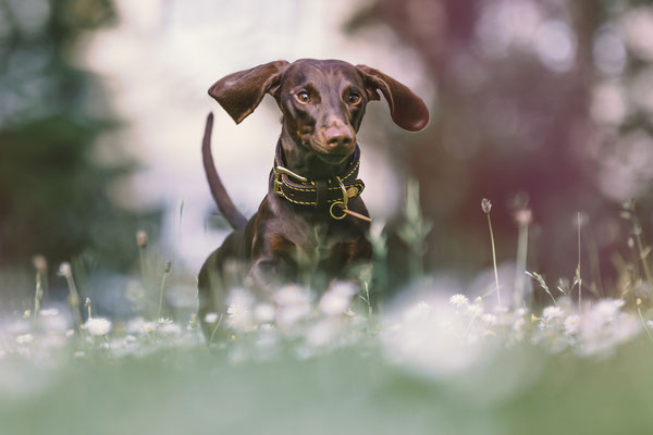 Tierfotografie - Standard Kurzhaardackel - Alfie vom Nikolassee