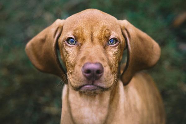 Magyar Vizsla puppy - Tierfotografie
