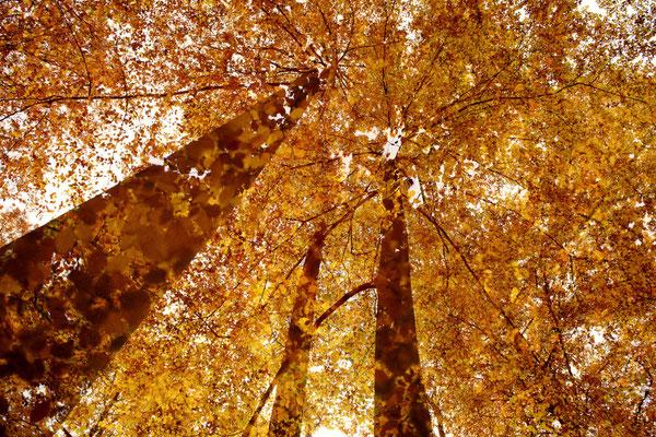 Buchen im Herbst - Mehrfachbelichtung