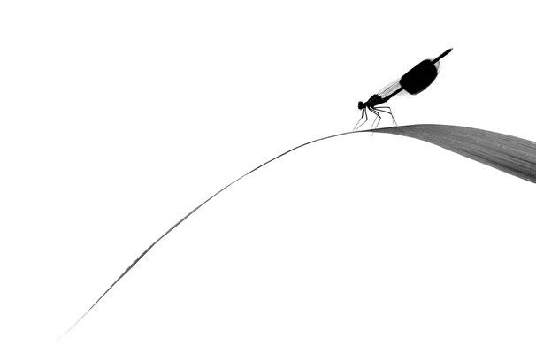 Haiku - Calopteryx splendens