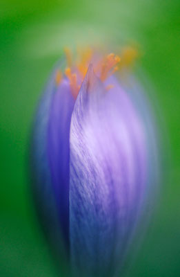 Crocus - multiple exposure