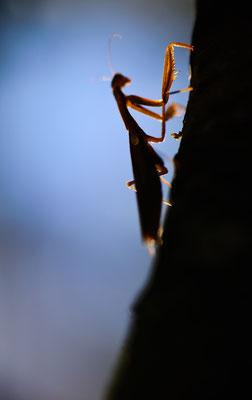 Gottesanbeterin - Mantis religosa