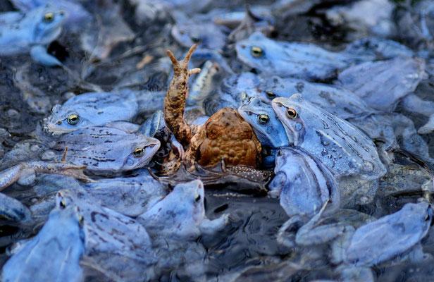 Hilfe ! Moor frogs