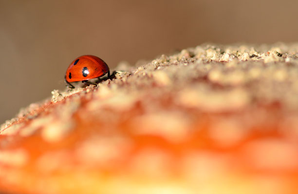 Ladybird - Coccinella septempunctata