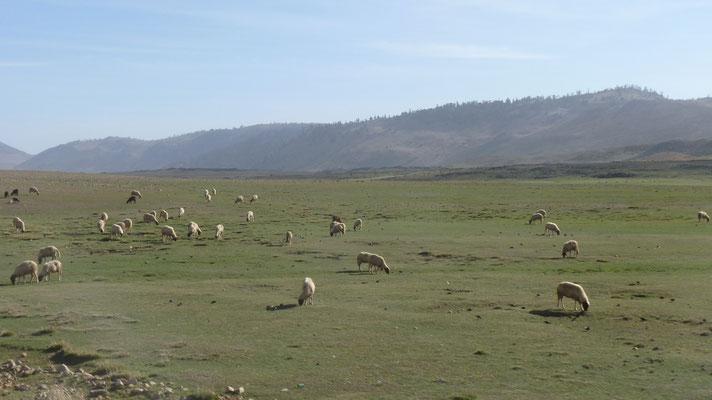 Überall sind Schaf- und Ziegenherden auf 1,600 m Höhe