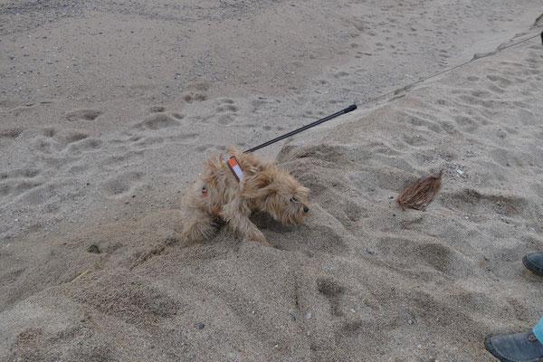 Cheevi versucht den Strand hochzuklettern. Er schaffte es