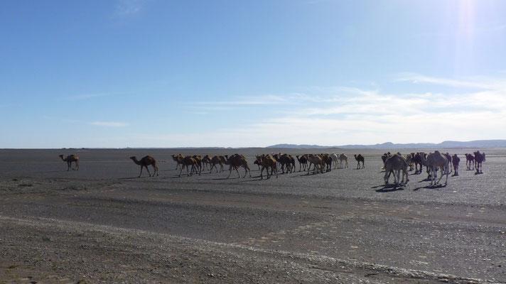 Eine Kamelherde nähert sich unserer Karawane