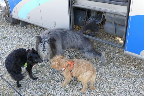 Sobald die beiden einen fremden Hund kennengelernt haben, herrscht Firede, Freude, Eierkuchen