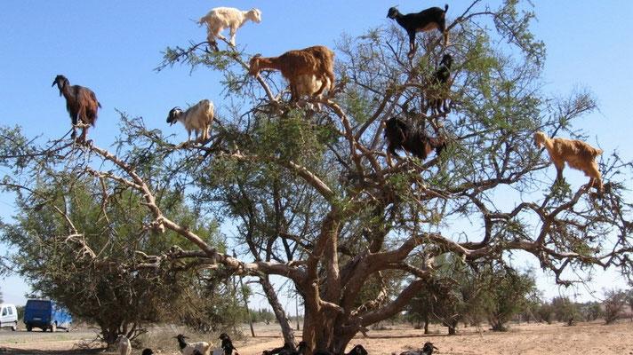 Ziegen auf den Bäumen fressen Arganfrüchte