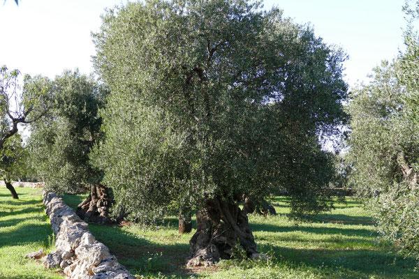 Viele alte Olivenbäume