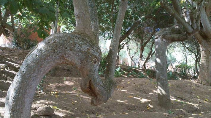 Der Nashornbaum in der Chellah
